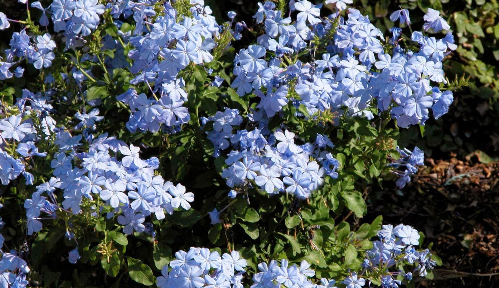 Blue-Plumbago[1]